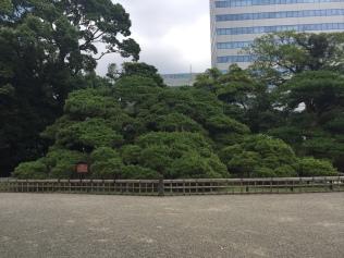 300 Year Pine